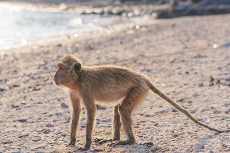 hairy arms: Monkey. Crab-eating macaque seats on the shore of the monkey island Stock Photo