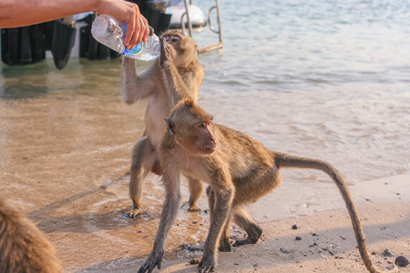 hairy arms: Monkey drinks water from a plasic bottle