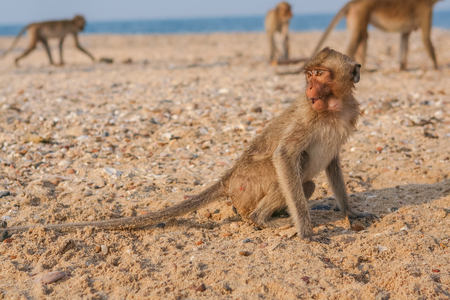 Monkey. Crab-eating macaque seats on the shore of the monkey island Stock Photo