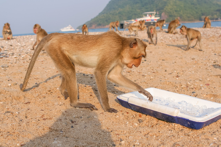 Monkey eats small peace of ice on the island