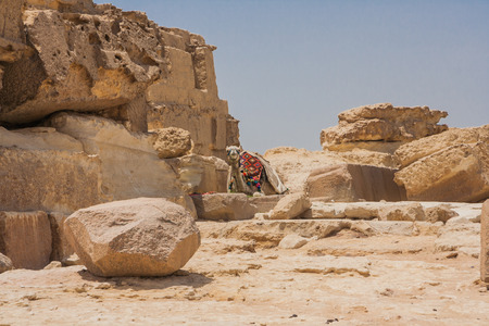 saddle camel: Camel and pyramids of Giza in Egypt