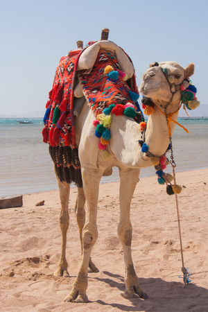 cartage: Camel on a sand of beach in Egypt