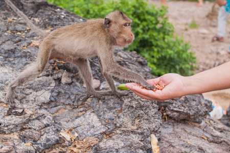 rain forest animal: Monkey. Crab-eating macaque seats on the shore of the monkey island Stock Photo