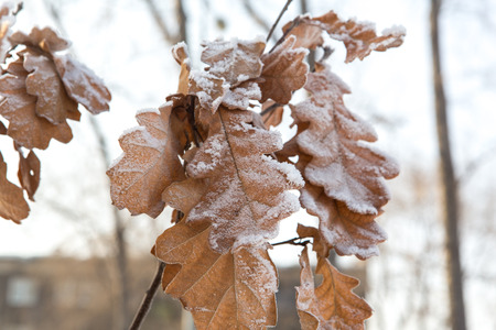 Frozen oak leaves covered with frost on the tree. Stock Photo