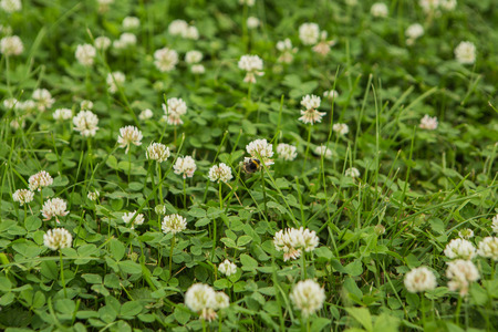 Green clover grass with white flowers natural background. Stock Photo