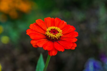 Red Gerbera flower with drops of dew in the garden Stock Photo