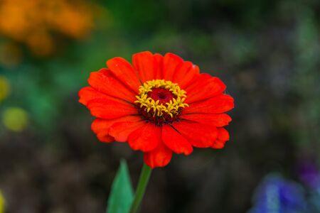herbera: Red Gerbera flower with drops of dew in the garden Stock Photo