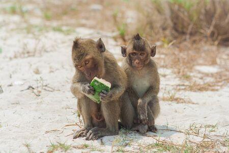 Small monkey eats watermelon on the beach. Stock Photo