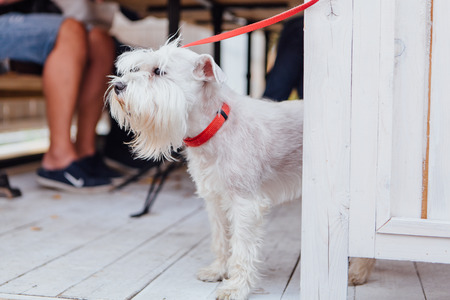Cute white Scottish Terrier under the table Stock Photo