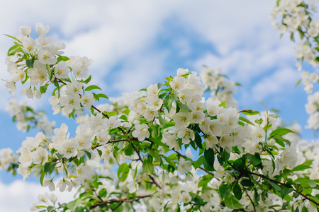 Blooming apple tree in a sunny spring day.