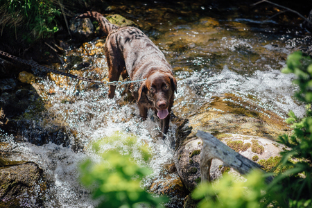 Brown happy Labrador puppy in the river
