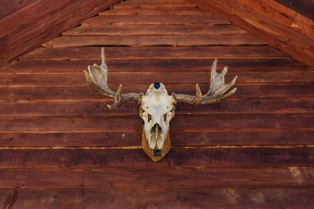 Old skull of a moose on facade of the wooden house