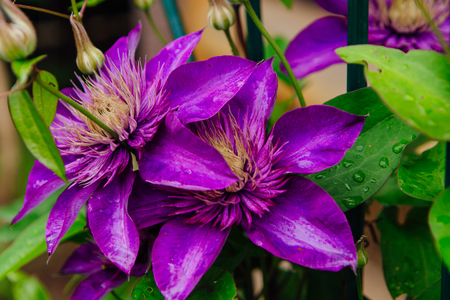 Big purple flowers named clematis or president flower after rain big purple flowers named clematis or president flower after rain stock photo 99423051 mightylinksfo