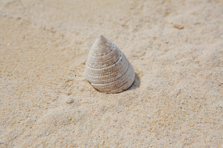 Cone shaped white sea shell on sand background. Copy space. Banco de Imagens