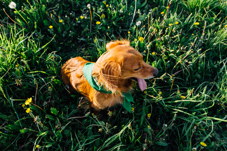 Cute red hair dog with green bandana on neck Stock Photo