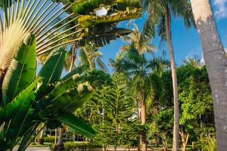 Ravenala palm called also travelers tree, the symbol of Madagascar. 版權商用圖片 - 102805292
