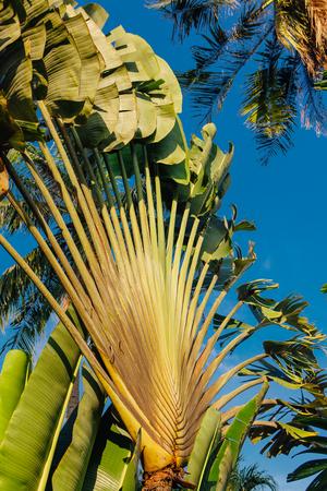 Ravenala palm called also travelers tree, the symbol of Madagascar. 版權商用圖片 - 102805455