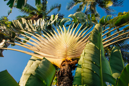 Ravenala palm called also travelers tree, the symbol of Madagascar. 版權商用圖片