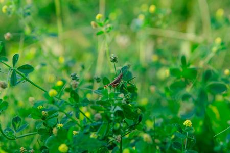 Grasshopper sits on the grass close-up. Big green locust sitting in the grass. 版權商用圖片