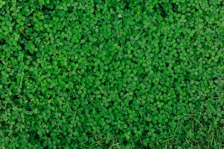 Green natural grass clover seamless texture