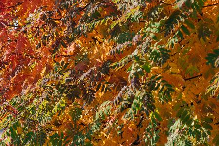Colorful autumn rowan leaves background Stock Photo