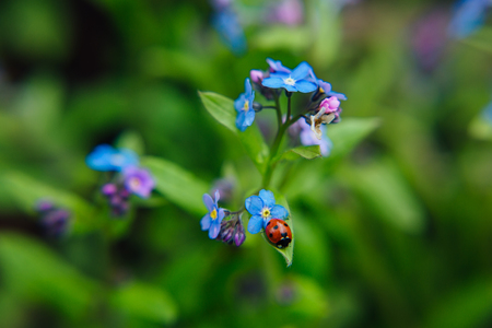 Ladybug sitting on a blue flower