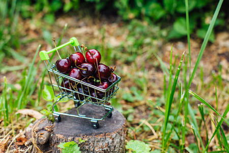 Mini shoppingcart full of fresh red ripe cherries on the green grass. Copy space. Stock Photo