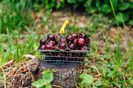 Mini shopping basket full of fresh red ripe cherries on the green grass
