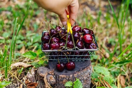Hand holding mini shopping basket full of fresh red ripe cherries on the green grass