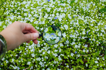 Hand holding magnifying glass infront of background of lawn with blue flowers veronica repens blooming 版權商用圖片
