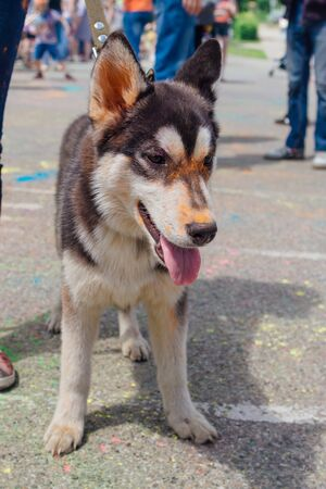 Young husky covered with colorful Holi powder on the street