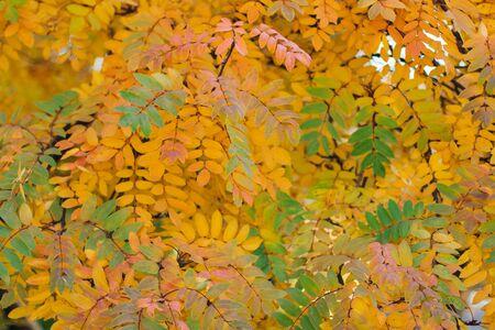 Colorful autumn rowan leaves background Archivio Fotografico