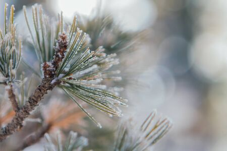 Pine tree branches covered with white snow and ice.