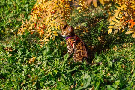 Cute little bengal kitty cat walking outdoors close to the autumn yellow rowan tree with berries.