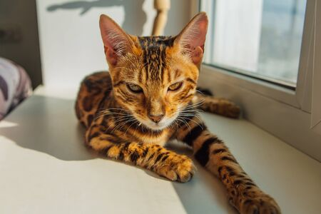 Cute curious bengal kitty cat laying next to the window at home