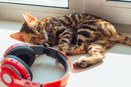 Cute curious bengal kitty cat laying next to the window and playing with red headphones at home