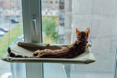 Cute little bengal kitty cat laying on the cats window bed watching on the street. Sunny seat for cat on the window.