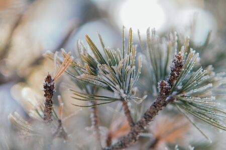 Close up pine tree branches covered with white snow and ice. Banco de Imagens - 132553798