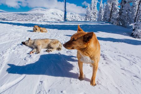 Three cute red fur dogs on snow in a bright sunny day