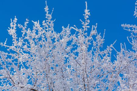 Birch branches covered with white snow and ice on the background of a blue sky.