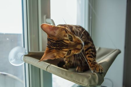 Cute little bengal kitty cat sitting on the cat's window bed and biting the strap. Sunny seat for cat on the window. Standard-Bild