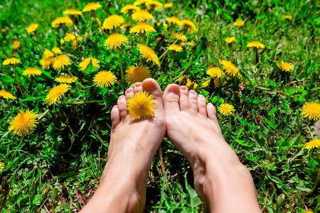 Bare woman's feet on the green grass with yellow dandelions. Dandelion between toes