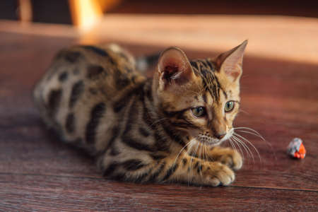 Cute bengal kitty cat laying on the floor at home Фото со стока
