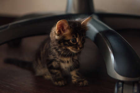 Cute charcoal bengal kitty cat sitting on the floor under chair at home Фото со стока
