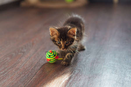 Cute charcoal bengal kitty cat playing with toy on the floor at home