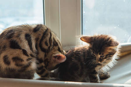 Two cute bengal kittens gold and chorocoal color sitting on the cats window bed and relaxing.