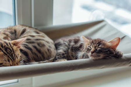 Cute charcoal bengal kitty cat laying on the cats window bed and sleeping. Фото со стока