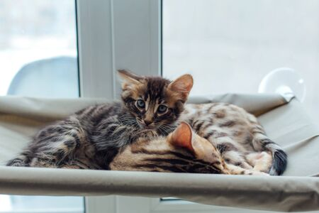 Two cute bengal kittens gold and chorocoal color laying on the cat's window bed and relaxing. Sunny seat for cat on the window. Standard-Bild