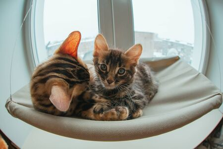 Two cute bengal kittens gold and chorocoal color laying on the cat's window bed and relaxing liking and washing each other. Sunny seat for cat on the window. Wide angle photo Standard-Bild