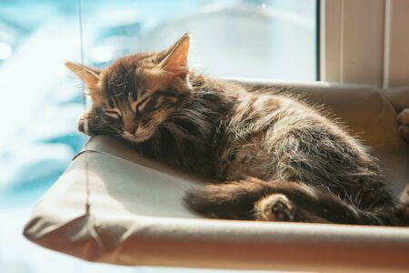 Cute charcoal longhair bengal kitty cat laying on the cat's window bed and sleeping. Sunny seat for cat on the window. Standard-Bild